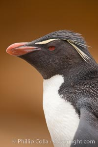 "Rockhopper penguin portrait, showing the yellowish plume feathers that extend behind its red eye in adults.  The western rockhopper penguin stands about 23"" high and weights up to 7.5 lb, with a lifespan of 20-30 years, Eudyptes chrysocome, Eudyptes chrysocome chrysocome, New Island"