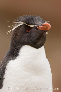 "Rockhopper penguin portrait, showing the yellowish plume feathers that extend behind its red eye in adults.  The western rockhopper penguin stands about 23"" high and weights up to 7.5 lb, with a lifespan of 20-30 years. New Island, Falkland Islands, United Kingdom, Eudyptes chrysocome, Eudyptes chrysocome chrysocome, natural history stock photograph, photo id 23737"