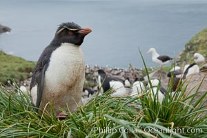 Western rockhopper penguin, standing atop tussock grass near a rookery of black-browed albatross. Westpoint Island, Falkland Islands, United Kingdom, Eudyptes chrysocome, natural history stock photograph, photo id 23933