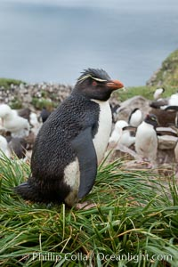 Western rockhopper penguin, standing atop tussock grass near a rookery of black-browed albatross. Westpoint Island, Falkland Islands, United Kingdom, Eudyptes chrysocome, natural history stock photograph, photo id 23934