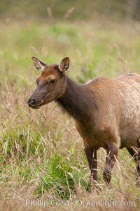 Roosevelt elk, juvenile.  Roosevelt elk grow to 10' and 1300 lb, eating grasses, sedges and various berries, inhabiting the coastal rainforests of the Pacific Northwest. Redwood National Park, California, USA, Cervus canadensis roosevelti, natural history stock photograph, photo id 25887