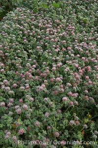 Rose clover blooms in spring, Trifolium hirtum, Carlsbad, California