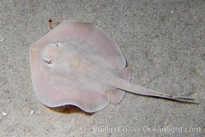 Round stingray, a common inhabitant of shallow sand flats, Urolophus halleri