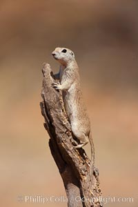 Round-tailed ground squirrel. Amado, Arizona, USA, Spermophilus tereticaudus, natural history stock photograph, photo id 22896
