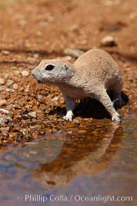 Round-tailed ground squirrel. Amado, Arizona, USA, Spermophilus tereticaudus, natural history stock photograph, photo id 22975