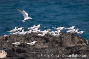 Royal terns, Great Isaac Island, Bahamas, Sterna maxima