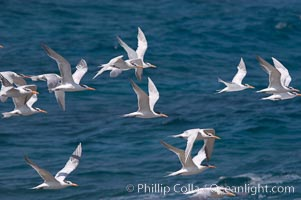 Royal terns. Great Isaac Island, Bahamas, Sterna maxima, natural history stock photograph, photo id 10825