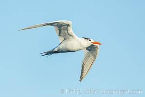 Royal tern in flight, winter adult phase, Sterna maxima, La Jolla, California