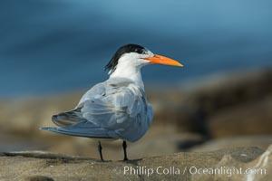 Royal Tern, La Jolla, Sterna maxima