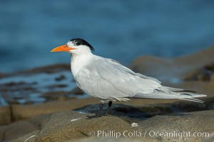 Royal Tern, La Jolla. California, USA, Sterna maxima, natural history stock photograph, photo id 30400