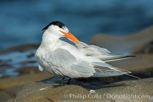 Royal Tern, La Jolla. California, USA, Sterna maxima, natural history stock photograph, photo id 30404