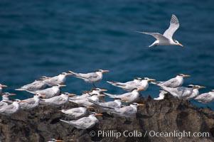Royal terns. Great Isaac Island, Bahamas, Sterna maxima, natural history stock photograph, photo id 10820