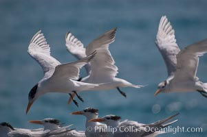Royal terns, Sterna maxima, Great Isaac Island