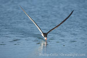 Black skimmer forages by flying over shallow water with its lower mandible dipping below the surface for small fish. San Diego Bay National Wildlife Refuge, California, USA, Rynchops niger, natural history stock photograph, photo id 17441