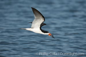 Black skimmer forages by flying over shallow water with its lower mandible dipping below the surface for small fish. San Diego Bay National Wildlife Refuge, California, USA, Rynchops niger, natural history stock photograph, photo id 17444