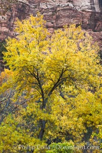 Cottonwood tree in autumn, red sandstone cliffs, fall colors, Zion National Park, Utah