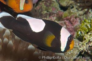 Saddleback clownfish., Amphiprion polymnus, natural history stock photograph, photo id 08830
