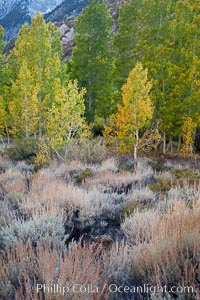 Sage brush and aspen trees, autumn, in the shade of Bishop Creek Canyon in the Sierra Nevada. Bishop Creek Canyon Sierra Nevada Mountains, Bishop, California, USA, Populus tremuloides, natural history stock photograph, photo id 26075