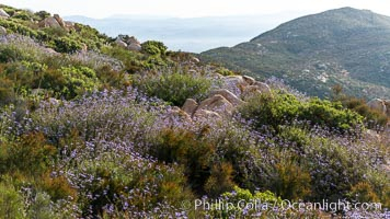 Sage in bloom on Iron Mountain, San Diego