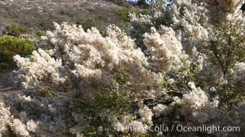Sage plant in bloom, San Elijo Lagoon, Encinitas, California