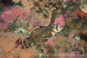 Sailfin sculpin., Nautichthys oculofasciatus, natural history stock photograph, photo id 07897