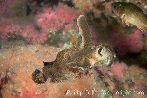 Sailfin sculpin., Nautichthys oculofasciatus, natural history stock photograph, photo id 07898