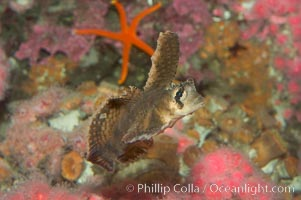 Sailfin sculpin., Nautichthys oculofasciatus, natural history stock photograph, photo id 07900