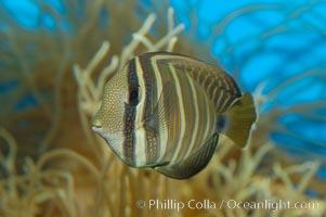 Sailfin tang., Zebrasoma veliferum, natural history stock photograph, photo id 07795