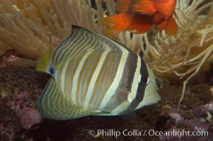 Image 07831, Sailfin tang., Zebrasoma veliferum, Phillip Colla, all rights reserved worldwide. Keywords: animal, fish, indo-pacific, marine fish, sailfin tang, tang, underwater, zebrasoma veliferum.