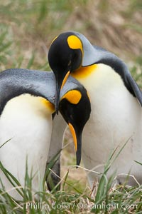 King penguin, mated pair courting, displaying courtship behavior including mutual preening. Salisbury Plain, South Georgia Island, Aptenodytes patagonicus, natural history stock photograph, photo id 24438