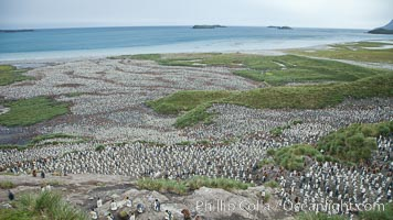 King penguin colony and the Bay of Isles on the northern coast of South Georgia Island.  Over 100,000 nesting pairs of king penguins reside here.  Dark patches in the colony are groups of juveniles with fluffy brown plumage. Salisbury Plain, Aptenodytes patagonicus, natural history stock photograph, photo id 24443