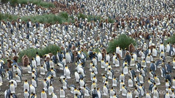 King penguin colony. Over 100,000 pairs of king penguins nest at Salisbury Plain, laying eggs in December and February, then alternating roles between foraging for food and caring for the egg or chick, Aptenodytes patagonicus