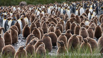 King penguins at Salisbury Plain.  Silver and black penguins are adults, while brown penguins are 'oakum boys', juveniles named for their distinctive fluffy plumage that will soon molt and taken on adult coloration, Aptenodytes patagonicus