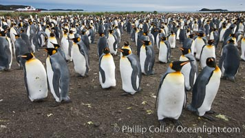 King penguin colony. Over 100,000 pairs of king penguins nest at Salisbury Plain, laying eggs in December and February, then alternating roles between foraging for food and caring for the egg or chick. Salisbury Plain, South Georgia Island, Aptenodytes patagonicus, natural history stock photograph, photo id 24456