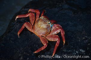 Sally Lightfoot crab. Galapagos Islands, Ecuador, Grapsus grapsus, natural history stock photograph, photo id 01896