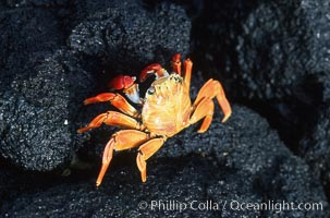 Image 05588, Sally Lightfoot crab. Galapagos Islands, Ecuador, Grapsus grapsus, Phillip Colla, all rights reserved worldwide. Keywords: above water, animal, crab, crustacean, ecuador, galapagos, galapagos islands, grapsus grapsus, invertebrate, marine invertebrate, ocean, oceans, pacific, sally lightfoot crab, wildlife, world heritage sites.