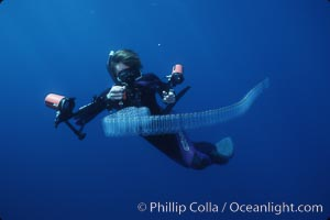 Diver and pelagic salp chain, open ocean. San Diego, California, USA, natural history stock photograph, photo id 03160