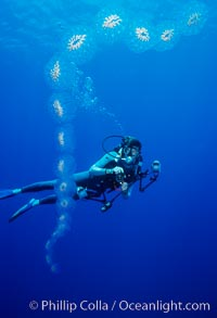 Salp chain and diver, open ocean, Cyclosalpa affinis, San Diego, California
