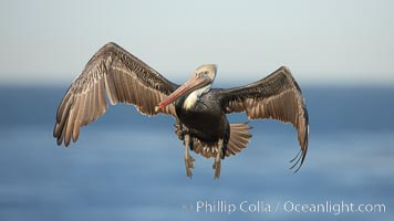 California brown pelican spreads its wings wide as it slows before landing on seacliffs. La Jolla, California, USA, Pelecanus occidentalis, Pelecanus occidentalis californicus, natural history stock photograph, photo id 22149