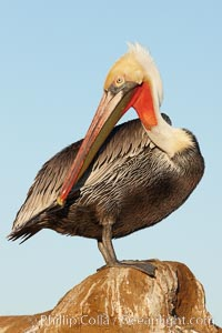 California brown pelican preening as it rests in the sun, drying after a morning foraging on the ocean, Pelecanus occidentalis, Pelecanus occidentalis californicus, La Jolla