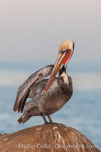 Brown pelican, winter adult breeding plumage, showing bright red gular pouch and dark brown hindneck plumage of breeding adults. This large seabird has a wingspan over 7 feet wide. The California race of the brown pelican holds endangered species status, due largely to predation in the early 1900s and to decades of poor reproduction caused by DDT poisoning. La Jolla, California, USA, Pelecanus occidentalis, Pelecanus occidentalis californicus, natural history stock photograph, photo id 23640