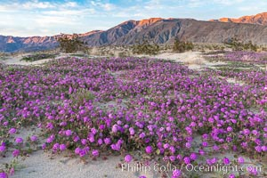 Sand verbena wildflowers on sand dunes, Anza-Borrego Desert State Park. Borrego Springs, California, USA, Abronia villosa, Oenothera deltoides, natural history stock photograph, photo id 35113