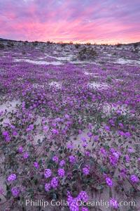 Sand verbena wildflowers on sand dunes, Anza-Borrego Desert State Park, Abronia villosa, Borrego Springs, California