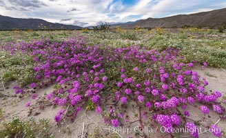 Sand verbena wildflowers on sand dunes, Anza-Borrego Desert State Park. Borrego Springs, California, USA, Abronia villosa, natural history stock photograph, photo id 35171