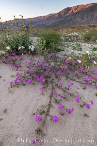 Sand verbena wildflowers on sand dunes, Anza-Borrego Desert State Park. Anza-Borrego Desert State Park, Borrego Springs, California, USA, Abronia villosa, natural history stock photograph, photo id 35205