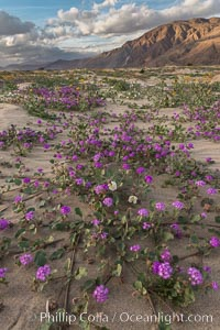 Sand verbena wildflowers on sand dunes, Anza-Borrego Desert State Park, Abronia villosa, Oenothera deltoides, Borrego Springs, California