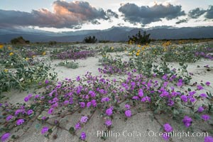 Sand verbena wildflowers on sand dunes, Anza-Borrego Desert State Park. Anza-Borrego Desert State Park, Borrego Springs, California, USA, Abronia villosa, natural history stock photograph, photo id 30520