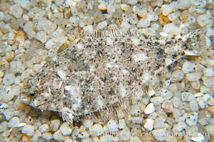 Image 14004, A small (2 inch) sanddab is well-camouflaged amidst the grains of sand that surround it., Citharichthys sp.