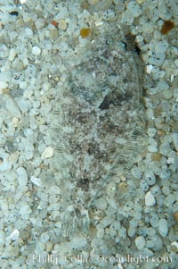 Image 08945, A small (2 inch) sanddab is well-camouflaged amidst the grains of sand that surround it., Citharichthys sp., Phillip Colla, all rights reserved worldwide. Keywords: animal, camoflage, camouflage, citharichthys sp, color and pattern, disruptive coloration, fish, fish anatomy, fish behavior, flatfish, sanddabs, underwater.