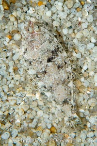 Image 14938, A small (2 inch) sanddab is well-camouflaged amidst the grains of sand that surround it., Citharichthys sp.